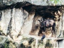 Cabra de monta?a foto de archivo libre de regalías
