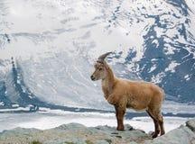 Cabra de montaña Fotos de archivo