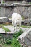 Cabra de montaña entre las rocas y los acantilados Fotos de archivo
