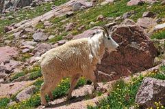 Cabra de montaña, montañas rocosas americanas Fotografía de archivo