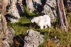 Cabra de montaña rocosa Foto de archivo libre de regalías