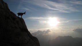 Cabra de montanha - íbex alpino imagens de stock
