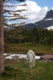 Cabra de montanha 1 Imagem de Stock