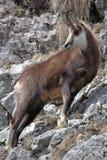 Cabra de montanha Imagens de Stock Royalty Free