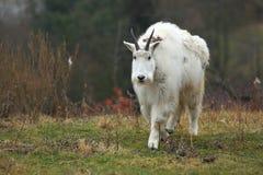 Cabra de montanha foto de stock royalty free