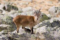 Cabra de montanha fotografia de stock royalty free