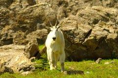 Cabra de montanha Foto de Stock