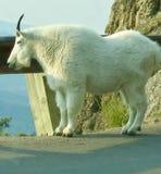 Cabra de montanha Fotos de Stock Royalty Free