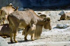 Cabra de montanha com chifres Foto de Stock