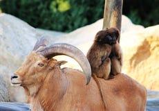 Cabra de montanha com chifres, macacos, natureza animal do amor dos babuínos Fotografia de Stock Royalty Free