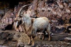 A cabra de montanha com sua boca olha abertamente na câmera Imagem de Stock