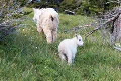 Cabra de montanha da criança do bebê e baby-sitter Mother que escala acima o outeiro gramíneo no monte do furacão no parque nacio Foto de Stock Royalty Free