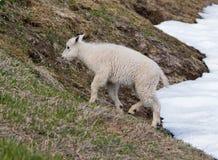 Cabra de montanha da criança do bebê no snowfield do monte do furacão no parque nacional olímpico no Estados Unidos noroeste em W Imagens de Stock Royalty Free