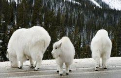 Cabra de montanha de 147 jovens com baby-sitter Fotografia de Stock