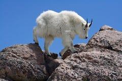 Cabra de montanha de encontro a um céu azul desobstruído Fotos de Stock