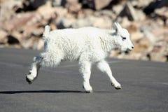 Cabra de montanha do bebê fotos de stock royalty free