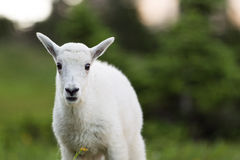 Cabra de montanha do bebê Foto de Stock Royalty Free
