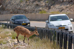Cabra de montanha do íbex de Nubian Imagem de Stock Royalty Free