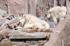 Cabra de montanha dois fotografia de stock