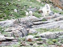 Cabra de montanha e cordeiros gêmeos Fotos de Stock Royalty Free