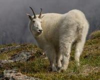 Cabra de montanha em Alaska imagens de stock royalty free