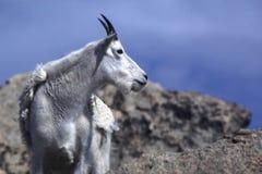 Cabra de montanha em Colorado Fotografia de Stock