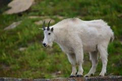 Cabra de montanha em Logan Pass Imagem de Stock Royalty Free
