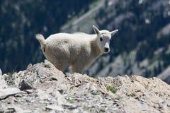 Cabra de montanha em Montana Imagem de Stock Royalty Free