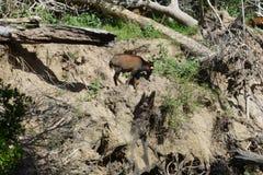 Cabra de montanha em um monte Foto de Stock