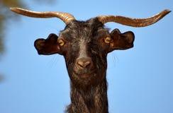 Cabra de montanha estúpida Fotos de Stock