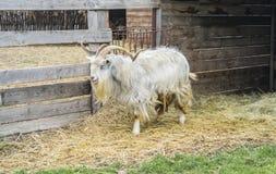 Cabra de montanha Há muito feno em torno da cabra imagem de stock royalty free