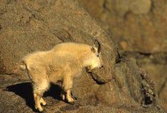 Cabra de montanha masculina Fotos de Stock