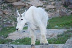 Cabra de montanha masculina imagens de stock