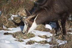 Cabra de montanha no habitat natural Imagem de Stock