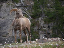Cabra de montanha no parque nacional Foto de Stock