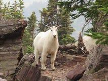Cabra de montanha no parque nacional de geleira Imagens de Stock Royalty Free