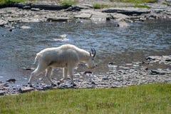 Cabra de montanha no parque nacional de geleira Fotos de Stock Royalty Free