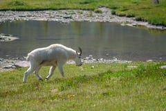 Cabra de montanha no parque nacional de geleira Fotos de Stock