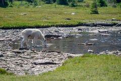 Cabra de montanha no parque nacional de geleira imagem de stock