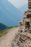 Cabra de montanha no parque nacional de geleira imagens de stock