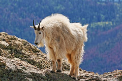 Cabra de montanha no pico de Harney foto de stock