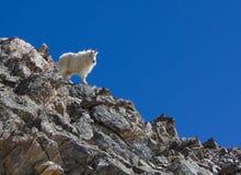 Cabra de montanha no pico dos cinzas fotos de stock