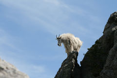 Cabra de montanha no pináculo do pico de Harney imagem de stock royalty free