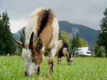 Cabra de montanha no prado Imagem de Stock