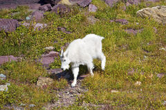 Cabra de montanha nova Fotografia de Stock