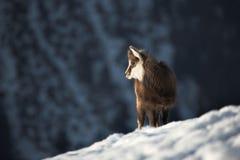 Cabra de montanha nova no habitat natural Imagens de Stock Royalty Free