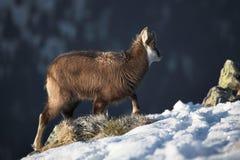 Cabra de montanha nova no habitat natural Fotografia de Stock