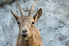 A cabra de montanha olha-o Fotos de Stock Royalty Free