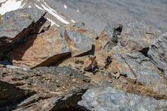 Cabra de montanha que descansa em um lugar perigoso Fotos de Stock Royalty Free