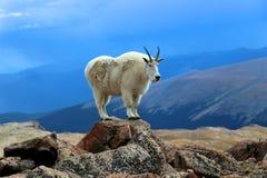 Cabra de montanha que está em uma rocha em Colorado fotografia de stock